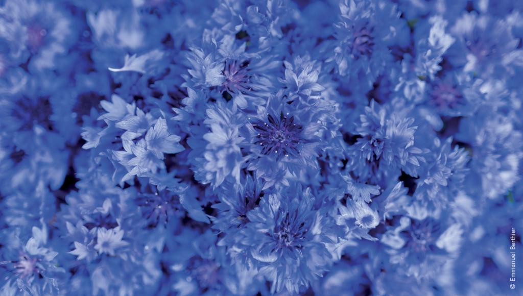 bleuet-fleurs
